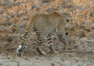First wild leopard sighting